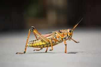 grasshopper-279532_1280